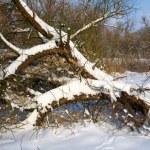 Old dry tree under snow — Stock Photo