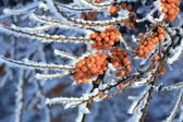 The branches of sea-buckthorn — Stock Photo