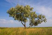 单树草原 — 图库照片