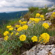 Yellow flowers in mountains — Stock Photo