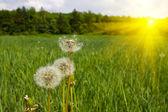 Dandelions on green field — Stock Photo