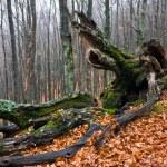 vieil arbre dans la forêt d'automne — Photo #3782333