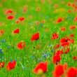 Poppy field — Stock Photo #2829143