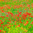 Poppy field — Stock Photo #2829150
