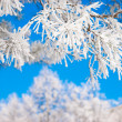 Pine branches in the snow - Stock Photo