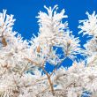 Pine branches in the snow — Stock Photo #2829242