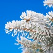 Pine branches in the snow — Stock Photo #2829244