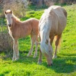 Mare and foal grazing — Stock Photo
