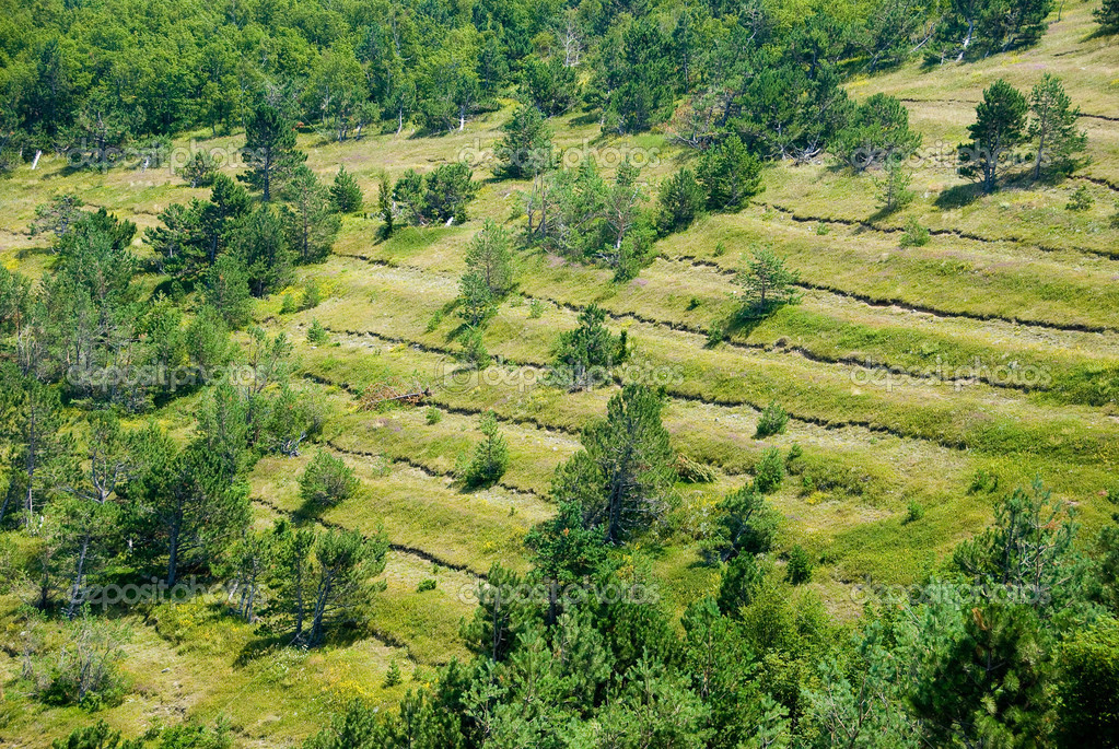 Trees in a rows on a slope in Crimea  Stock Photo #3187404