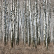 Birch trunks - Stock Photo
