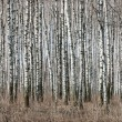 Stock Photo: Birch trunks