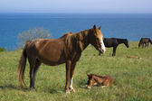 Horses pasture on meadow near the sea — Stock Photo