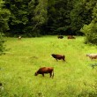 Stock Photo: Herd of cows grazing on meadow