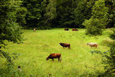 A herd of cows grazing on a meadow — Stock Photo