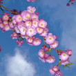 Japanese cherry tree - Lizenzfreies Foto