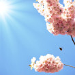 Japanese cherry tree - Stock Photo