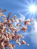 Japanese cherry tree — Stock Photo