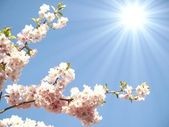Japanese cherry tree — Stock Photo