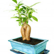 Ficus — Stock Photo