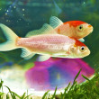 Koi couple — Stock Photo