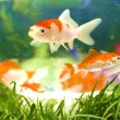 Koi looks — Stock Photo