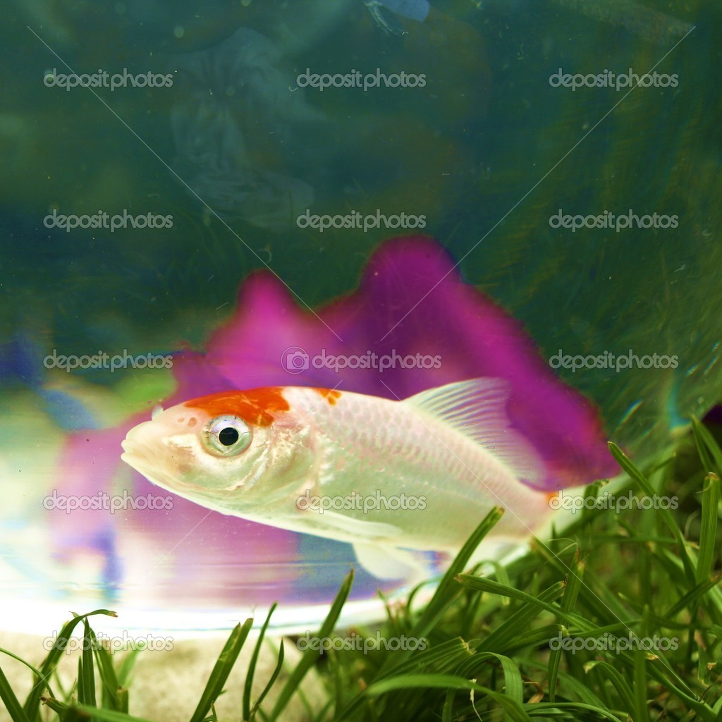 Koi in bowl — Stock Photo #3392023