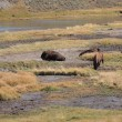 Yellowstone Park - Grazing Buffalo — Stock Photo