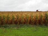 American Cornfield and Farmhouse — Stock Photo