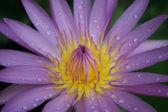 Pembe nilüfer — Stok fotoğraf
