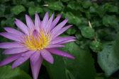 розовая вода lily — Стоковое фото
