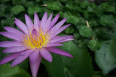 Roze water lily — Stockfoto