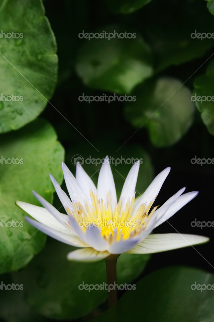 A white water lily with water drops.  Stock Photo #2831629