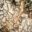 Stock Photo: Tree Texture