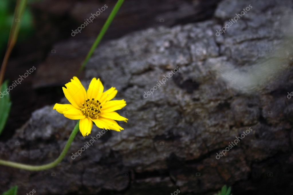 A Small Yellow flower found in tropical country.  — Stock Photo #2849417