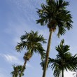 Palm tree — Stockfoto #2885126