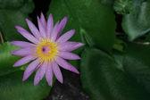 Nénuphar rose — Photo