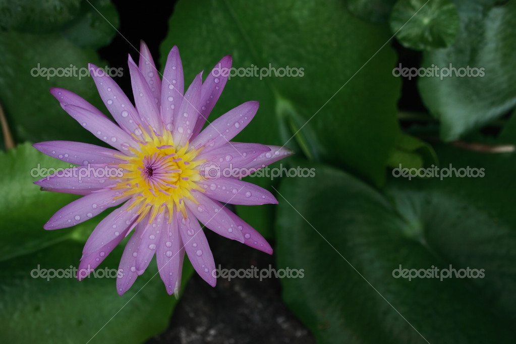 Pink water lily with green leaf. — Stock Photo #2884545