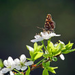 The butterfly on a cherry — Stock Photo