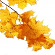 Maple branch - Stock Photo