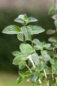Peppermint, plant, outdoors, herb,menthol,health,spice,leaf,bush,herbal,hea — Stock Photo