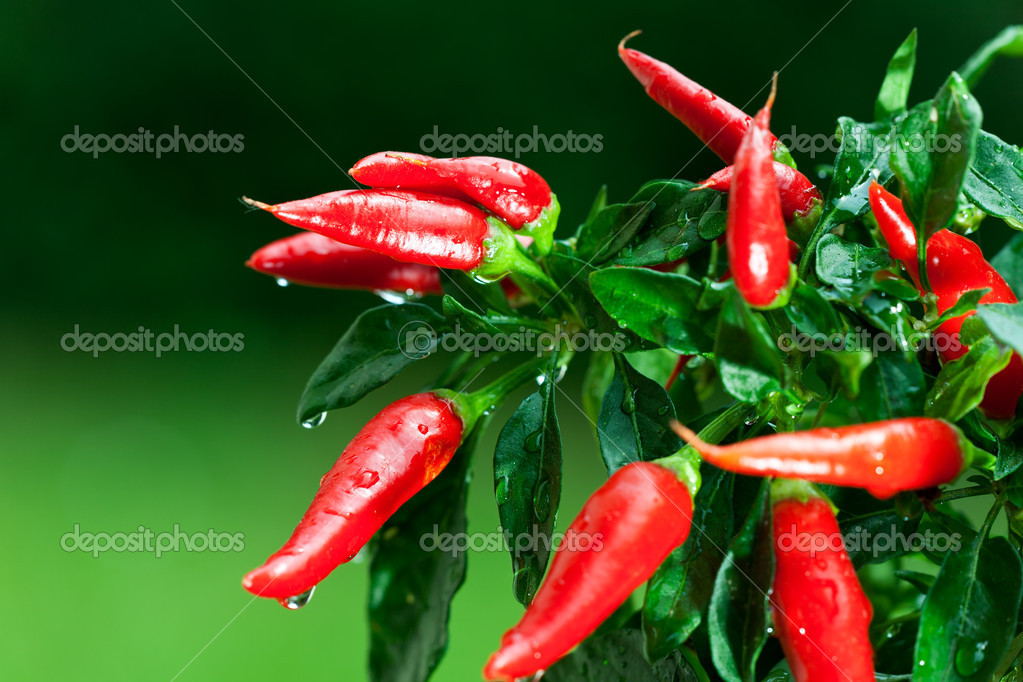 Ripe red hot chili peppers on a tree — Stock Photo #3711580