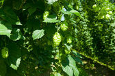 Detail of a hop plant with fruits — Stock Photo