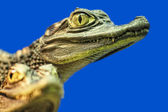 Eye of a young crocodile — Stock Photo
