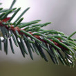 Evergreen branch — Foto Stock