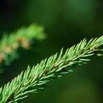 Evergreen branch — Stock Photo