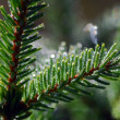 Evergreen branch — Stock Photo #3327486