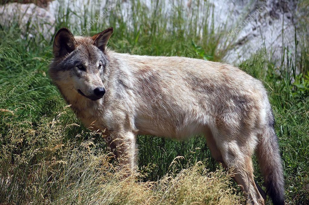 侧身摆野狼的图片— photo