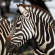 Plains Zebra (Equus quagga) — Stock Photo #3546865