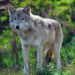 Gray wolf (Canis lupus) — Stock Photo