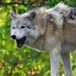 Gray Wolf — Stock Photo